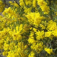 Acacia boormanii (Snowy River Wattle) at Farrer Ridge - 9 Sep 2017 by Mike