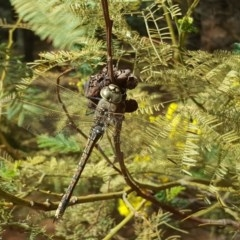 Anax papuensis (Australian Emperor) at Isaacs Ridge and Nearby - 9 Sep 2017 by Mike