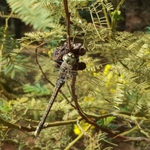 Anax papuensis at Isaacs Ridge and Nearby - 9 Sep 2017