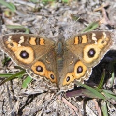 Junonia villida (Meadow Argus) at Mount Taylor - 8 Sep 2017 by MatthewFrawley