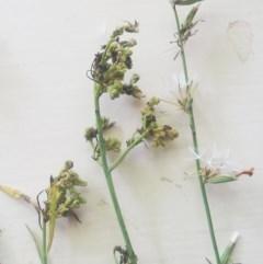 Chondrilla juncea (Skeleton Weed) at Hughes Garran Woodland - 30 Jan 2016 by ruthkerruish