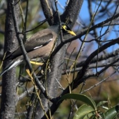 Acridotheres tristis (Common Myna) at Higgins, ACT - 13 Aug 2017 by Alison Milton