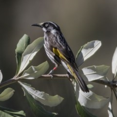 Phylidonyris novaehollandiae (New Holland Honeyeater) at ANBG - 19 Aug 2017 by Alison Milton