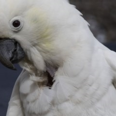 Cacatua galerita (Sulphur-crested Cockatoo) at Higgins, ACT - 20 Aug 2017 by Alison Milton