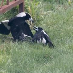 Gymnorhina tibicen (Australian Magpie) at Higgins, ACT - 21 Aug 2017 by Alison Milton