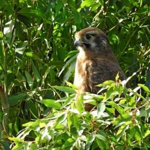Falco (Ieracidea) berigora berigora at Brogo, NSW - 11 Sep 2017