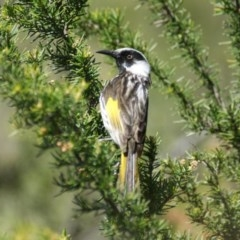 Phylidonyris niger X novaehollandiae (Hybrid) (White-cheeked X New Holland Honeyeater (Hybrid)) at Jerrabomberra Wetlands - 19 Oct 2016 by roymcd