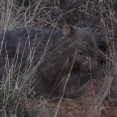 Vombatus ursinus (Wombat) at Molonglo River Park - 10 Sep 2017 by michaelb