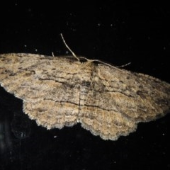 Ectropis (genus) (An engrailed moth) at Conder, ACT - 11 Sep 2017 by michaelb