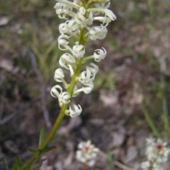 Stackhousia monogyna (Creamy Candles) at Mount Taylor - 12 Sep 2017 by MatthewFrawley