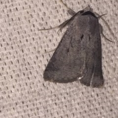 Pantydia (genus) (An Erebid moth) at O'Connor, ACT - 12 Sep 2017 by ibaird