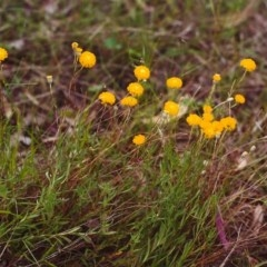 Leptorhynchos squamatus (Scaly Buttons) at Conder, ACT - 16 Nov 2000 by michaelb