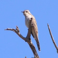Heteroscenes pallidus (Pallid Cuckoo) at Mount Taylor - 17 Sep 2017 by MatthewFrawley