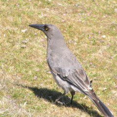 Strepera versicolor (Grey Currawong) at Mount Taylor - 17 Sep 2017 by MatthewFrawley