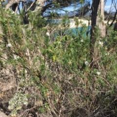 Westringia fruticosa (Native Rosemary) at Merimbula, NSW - 18 Sep 2017 by PatriciaDaly