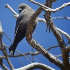 Artamus cyanopterus (Dusky Woodswallow) at Wandiyali-Environa Conservation Area - 18 Sep 2017 by Wandiyali