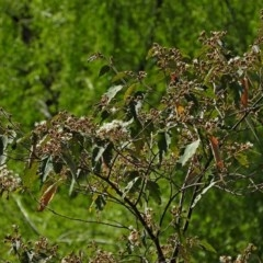 Androcalva rossii at Brogo, NSW - 21 Sep 2017