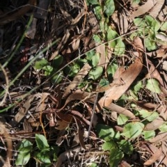 Pterostylis nutans (Nodding greenhood) at Mount Majura - 18 Sep 2017 by petersan
