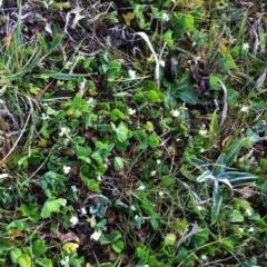Trifolium subterraneum (Subterranean Clover) at Hughes Garran Woodland - 17 Sep 2017 by ruthkerruish