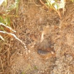 Urodacus manicatus (Black Rock Scorpion) at Gilmore, ACT - 19 Sep 2017 by MichaelMulvaney