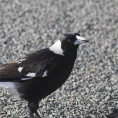 Gymnorhina tibicen (Australian Magpie) at Higgins, ACT - 20 Sep 2017 by Alison Milton