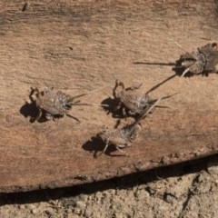 Platybrachys sp. (genus) (A gum hopper) at Higgins, ACT - 23 Sep 2017 by AlisonMilton