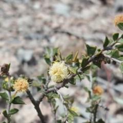 Acacia gunnii (Ploughshare Wattle) at Farrer Ridge - 24 Sep 2017 by Mike