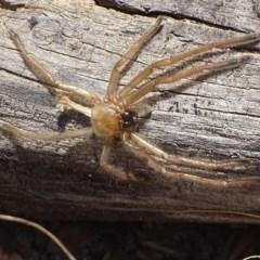 Delena cancerides (Social Huntsman Spider) at Carwoola, NSW - 23 Sep 2017 by roymcd