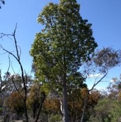 Brachychiton populneus subsp. populneus (Kurrajong) at Mount Ainslie - 24 Sep 2017 by WalterEgo