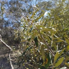 Olea europaea subsp. cuspidata (African Olive) at Mount Ainslie - 24 Sep 2017 by WalterEgo