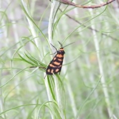 Asura lydia (Lydia Lichen Moth) at Campbell Park Woodland - 12 Nov 2016 by RyuCallaway