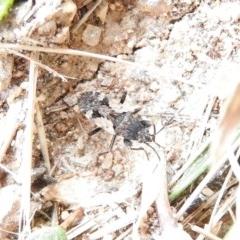 Euander lacertosus (Strawberry bug) at Waramanga, ACT - 13 Nov 2016 by RyuCallaway