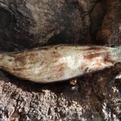 Chelepteryx collesi (White-stemmed Gum Moth) at Waramanga, ACT - 13 Nov 2016 by RyuCallaway