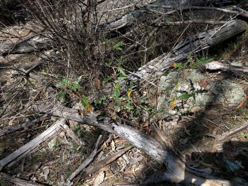 Solanum cinereum at Mount Ainslie - 24 Sep 2017