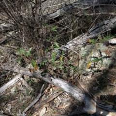 Solanum cinereum (Narrawa Burr) at Mount Ainslie - 24 Sep 2017 by WalterEgo