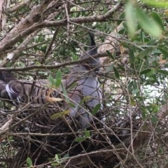 Ocyphaps lophotes (Crested Pigeon) at Wolumla, NSW - 25 Sep 2017 by PatriciaDaly