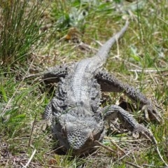 Pogona barbata (Eastern Bearded Dragon) at Illilanga & Baroona - 25 Sep 2017 by roymcd