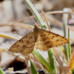 Scopula rubraria (Reddish Wave) at Jerrabomberra Wetlands - 23 Sep 2017 by HarveyPerkins