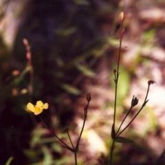 Hypericum gramineum (Small St Johns Wort) at Tuggeranong Hill - 23 Nov 1999 by michaelb
