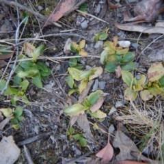 Pterostylis nutans (Nodding greenhood) at Aranda Bushland - 25 Sep 2017 by CathB