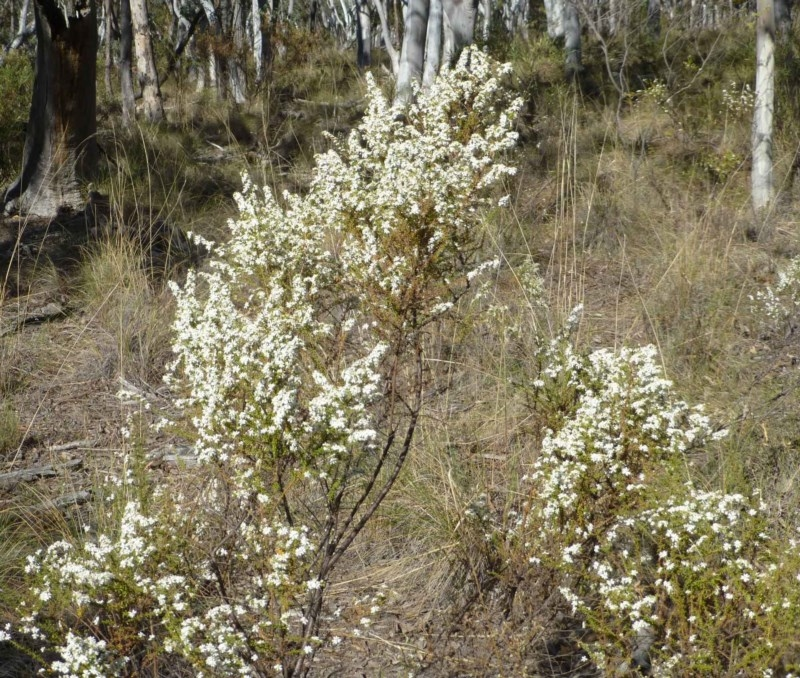 Olearia microphylla at Black Mountain - 26 Sep 2017
