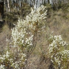 Olearia microphylla (Olearia) at Black Mountain - 25 Sep 2017 by RWPurdie