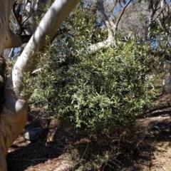 Olea europaea subsp. cuspidata (African Olive) at Mount Majura - 26 Sep 2017 by WalterEgo