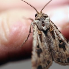 Agrotis munda (Brown Cutworm) at O'Connor, ACT - 24 Sep 2017 by ibaird