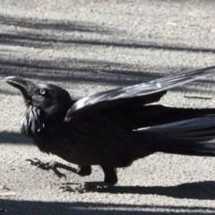Corvus coronoides (Australian Raven) at ANBG - 26 Sep 2017 by Alison Milton