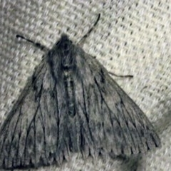 Cyneoterpna wilsoni (Wilson's Grey) at O'Connor, ACT - 29 Sep 2017 by ibaird