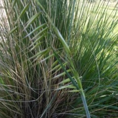 Avena sp. (Wild Oats) at Sth Tablelands Ecosystem Park - 29 Sep 2017 by AndyRussell