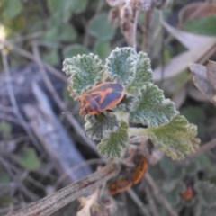 Agonoscelis rutila (Horehound bug) at Mount Ainslie - 29 Sep 2017 by SilkeSma