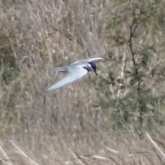 Chlidonias hybrida (Whiskered Tern) at Jerrabomberra Wetlands - 30 Sep 2017 by roymcd