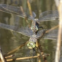Anax papuensis (Australian Emperor) at Tidbinbilla Nature Reserve - 1 Oct 2017 by roymcd